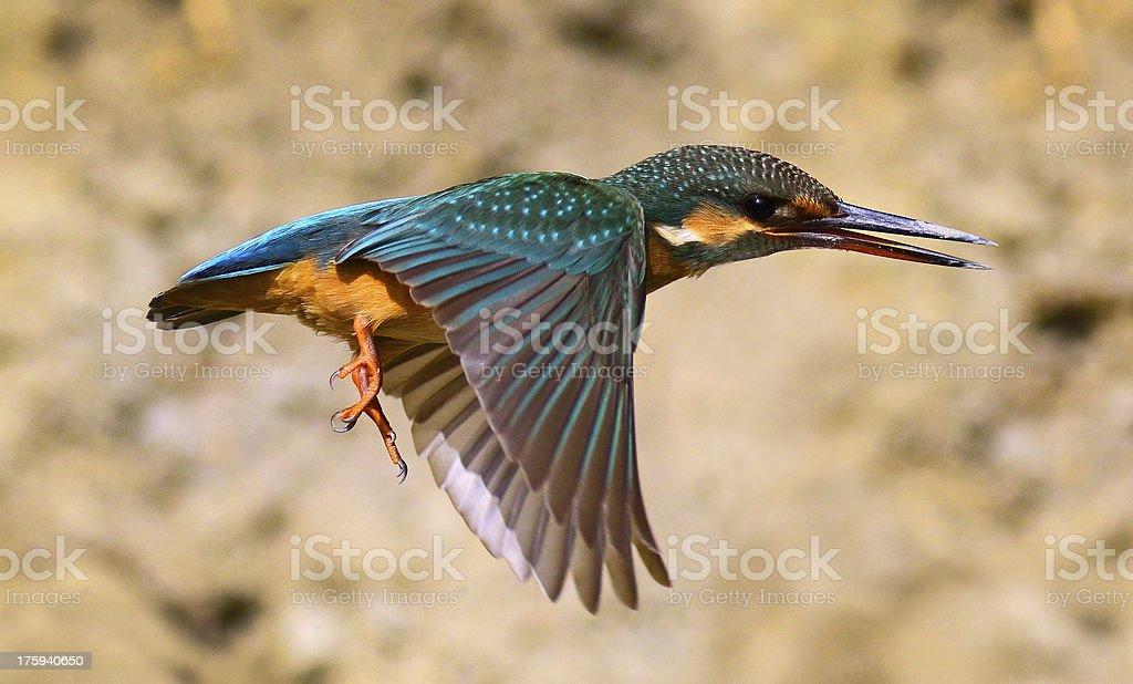 Kingfisher in flight royalty-free stock photo