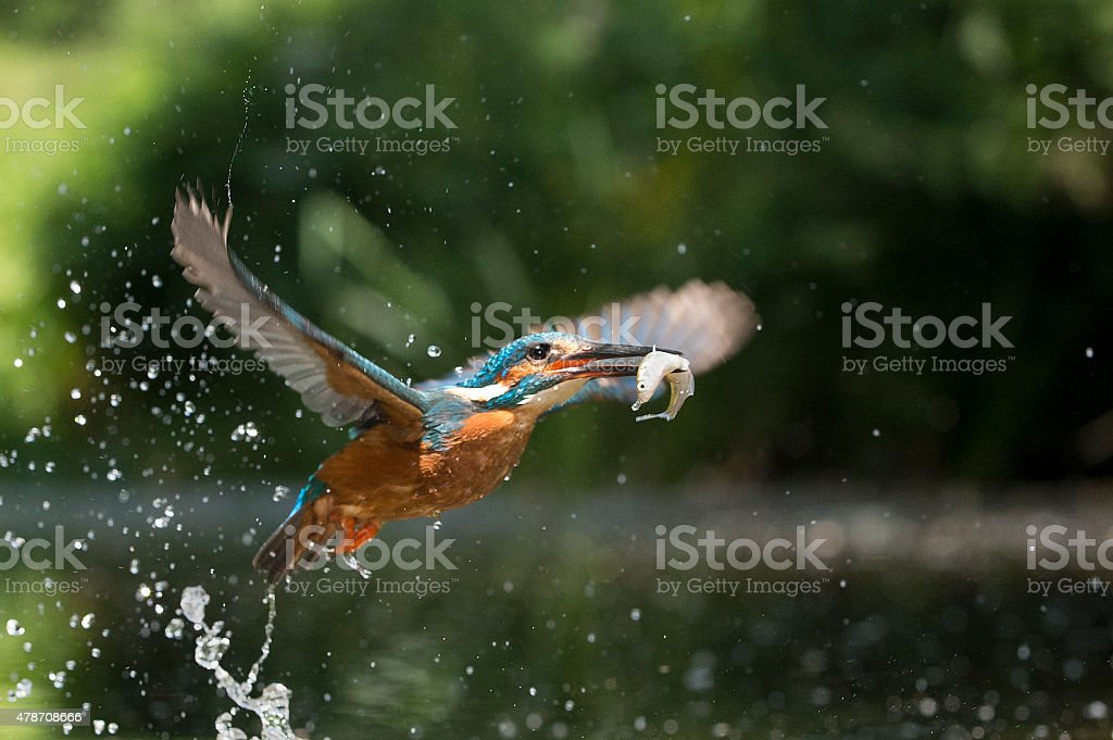 Kingfisher in flight with fish (Alcsdo atthis) stock photo