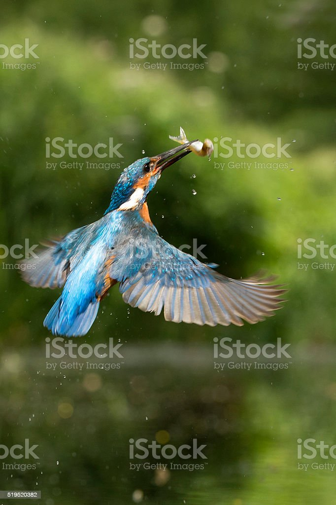 Kingfisher in flight with fish (Alcedo atthis) stock photo