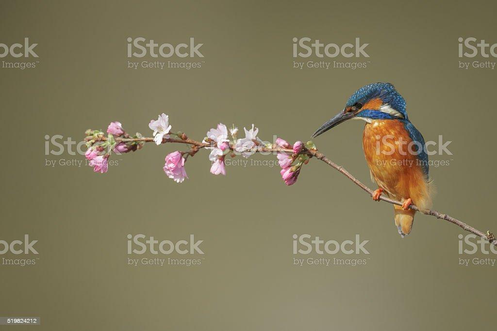 Kingfisher in spring stock photo