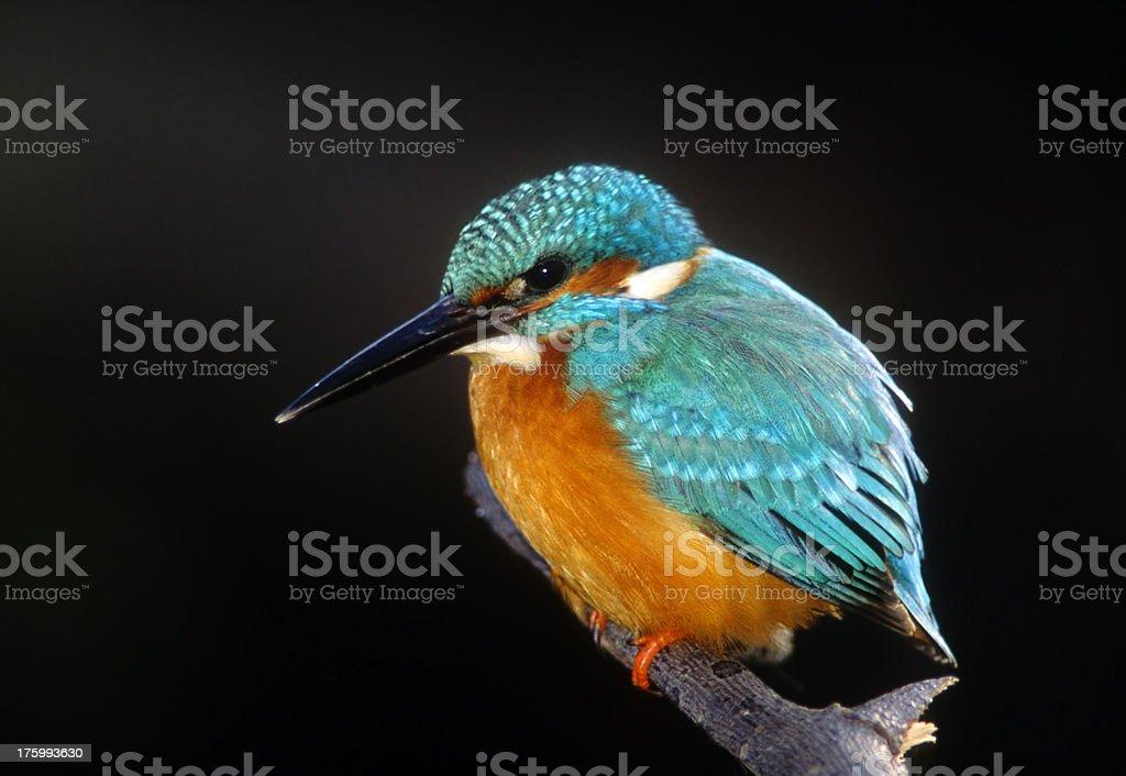 Kingfisher - Jewel Bird ! stock photo
