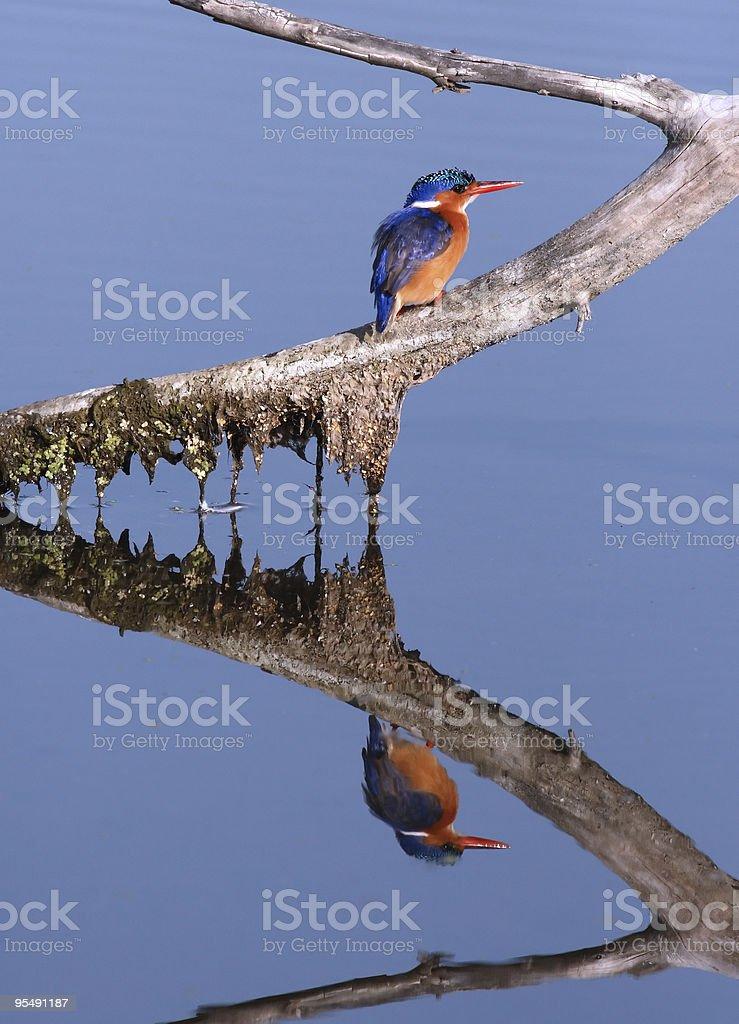 Kingfisher mirror royalty-free stock photo