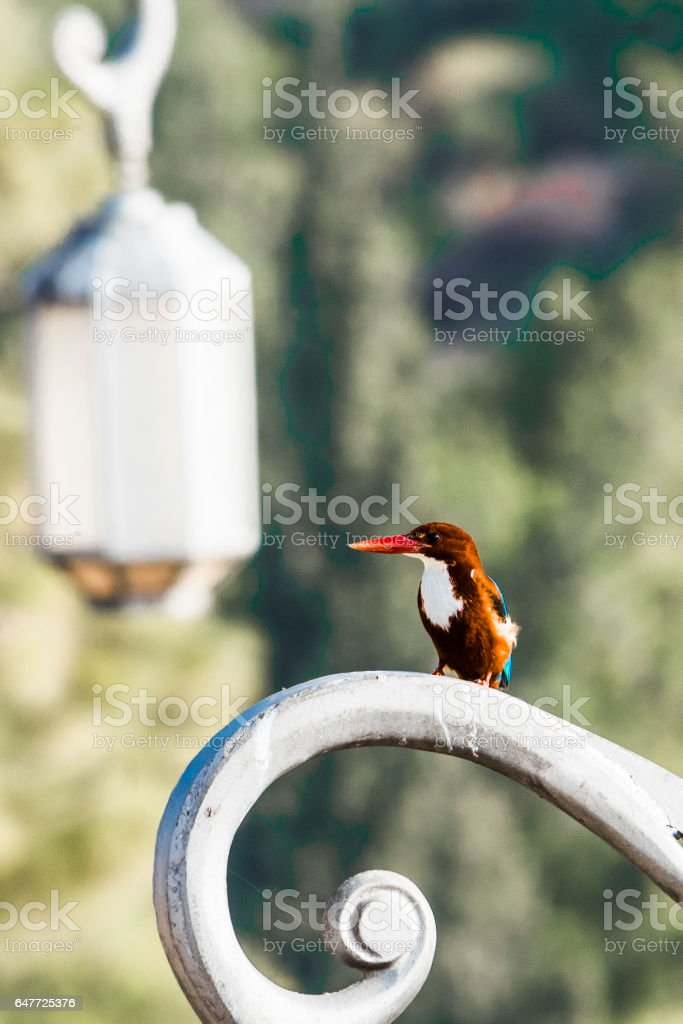 Kingfisher on a lamppost stock photo