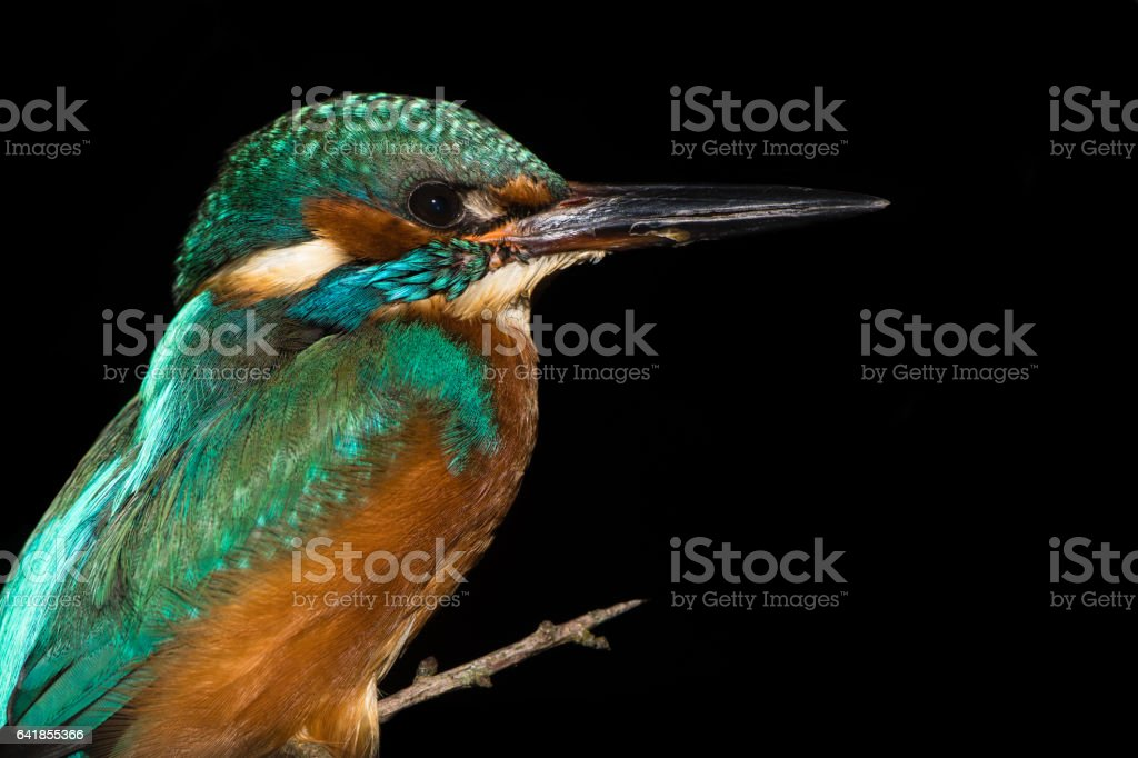 Kingfisher (Alcedo atthis) perched against black background stock photo