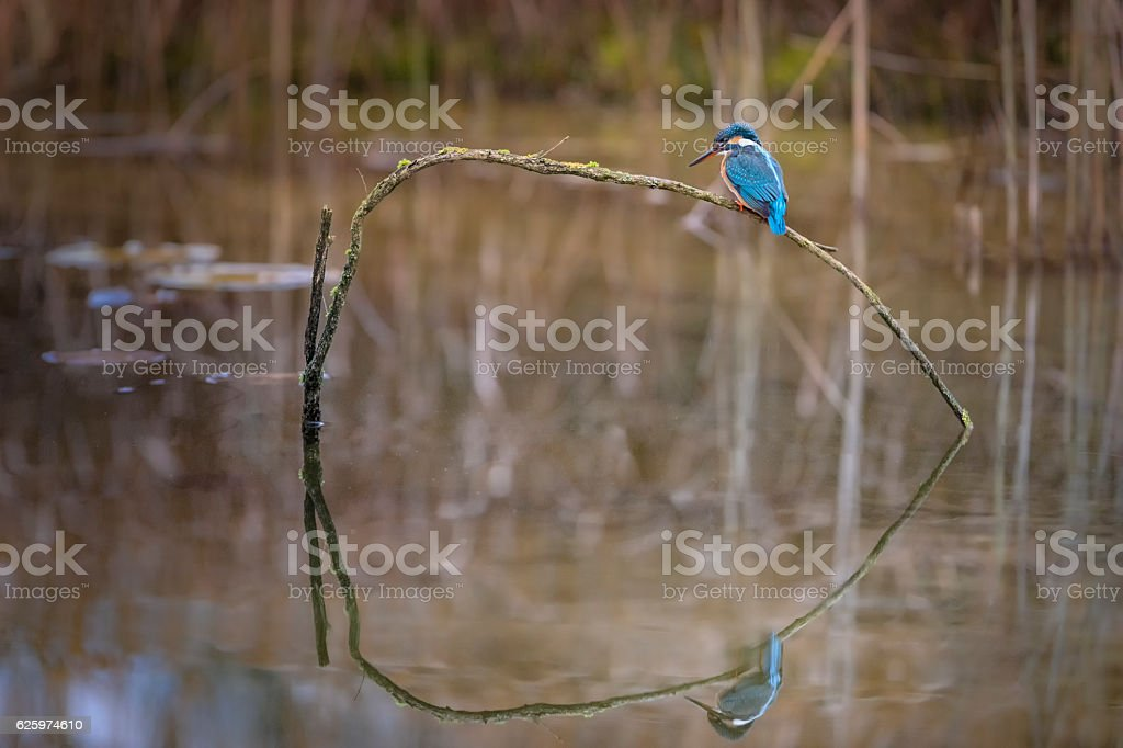Kingfisher perching on branch and looking out for fish stock photo