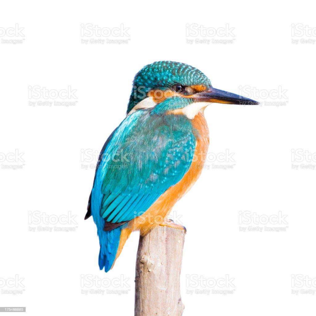 Kingfisher  (Alcedo atthis) royalty-free stock photo