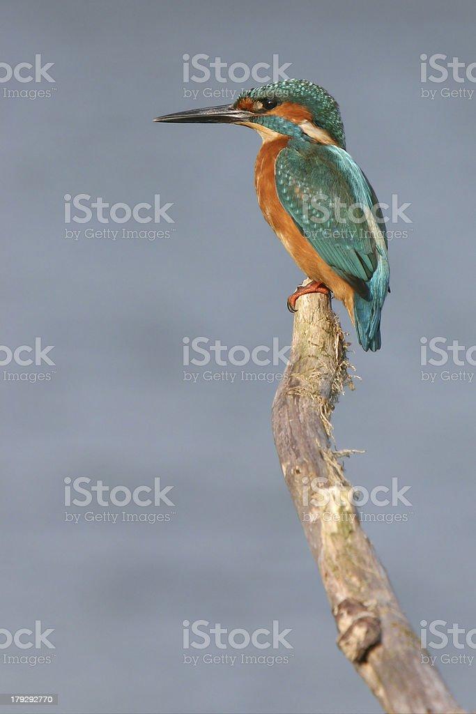 Kingfisher (Oostvaardersplassen, the Netherlands) stock photo