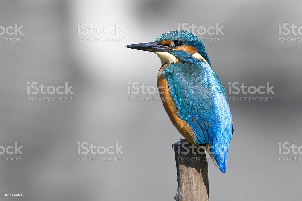 Kingfisher  (Alcedo atthis) royalty-free stock photo