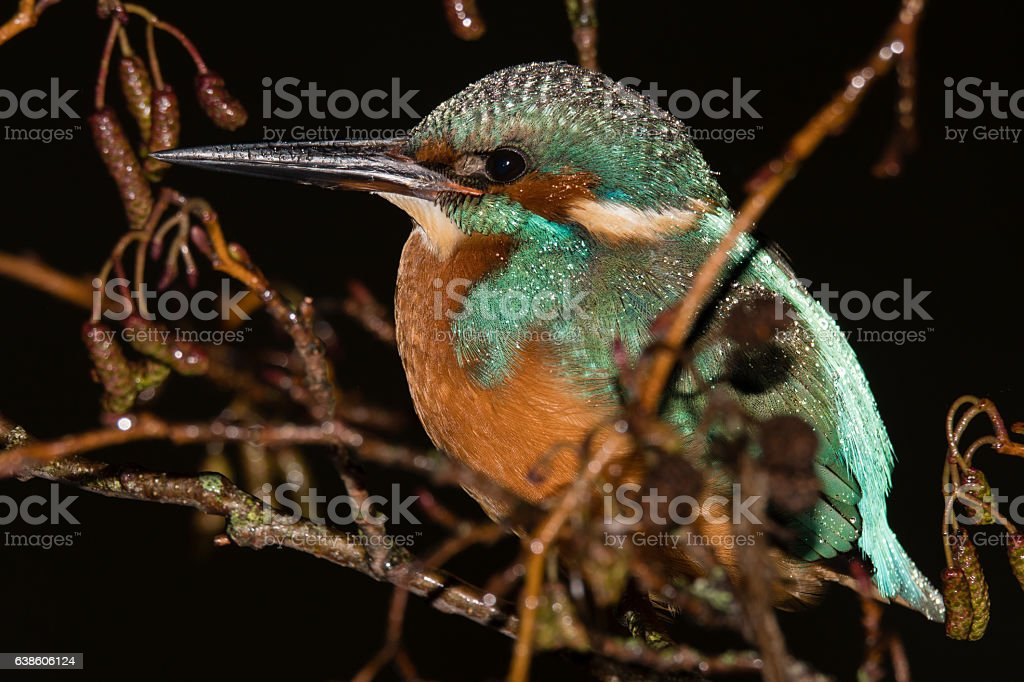Kingfisher (Alcedo atthis) roosting in tree at night, close stock photo