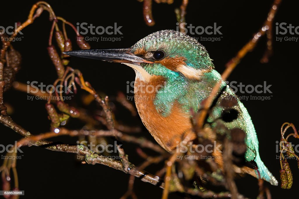 Kingfisher (Alcedo atthis) roosting in tree at night stock photo