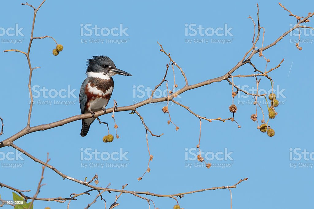Kingfisher sits in the old gum tree stock photo