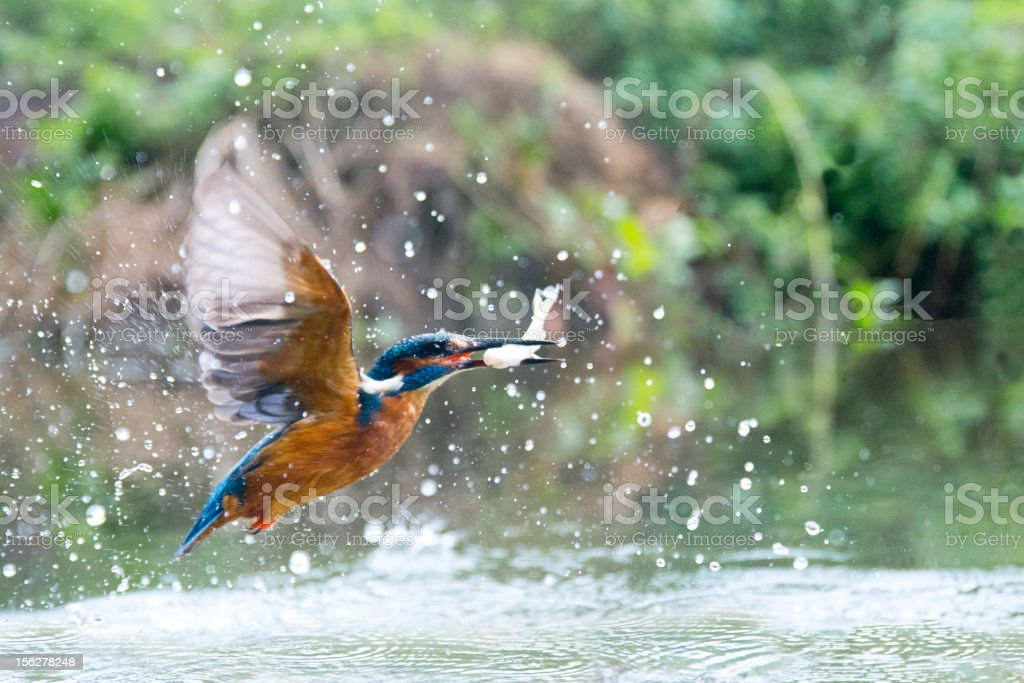 Kingfisher with a fish supper stock photo