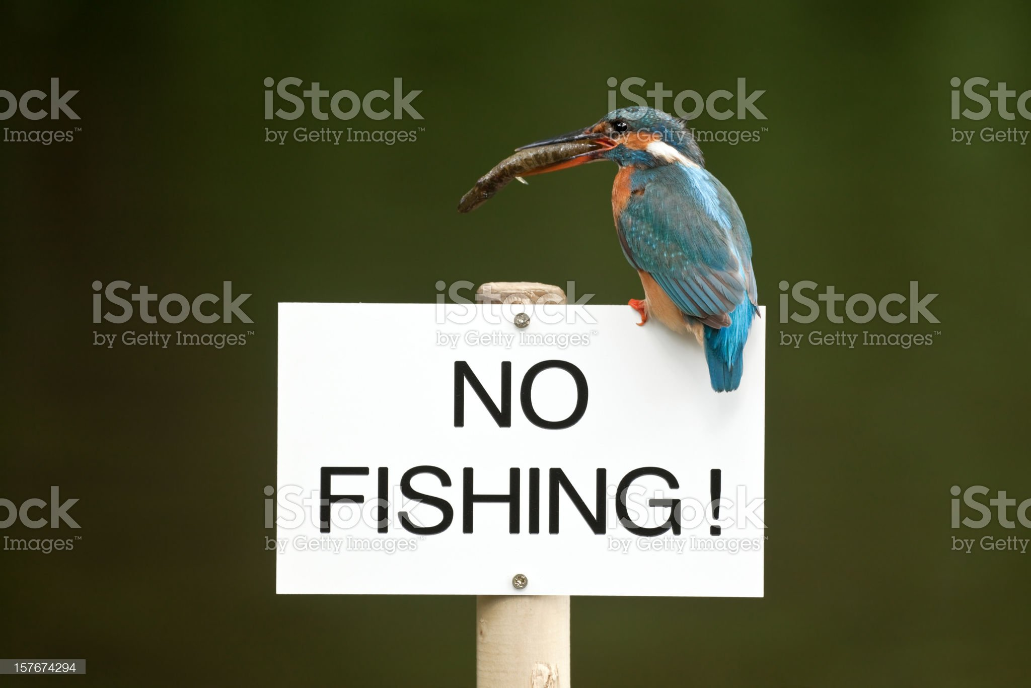 Kingfisher With Fish Perching On No Fishing Sign royalty-free stock photo