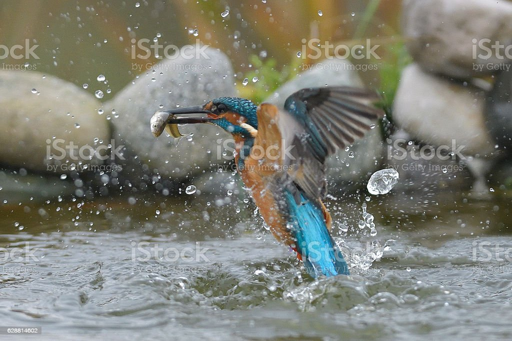 Kingfisher with fish stock photo