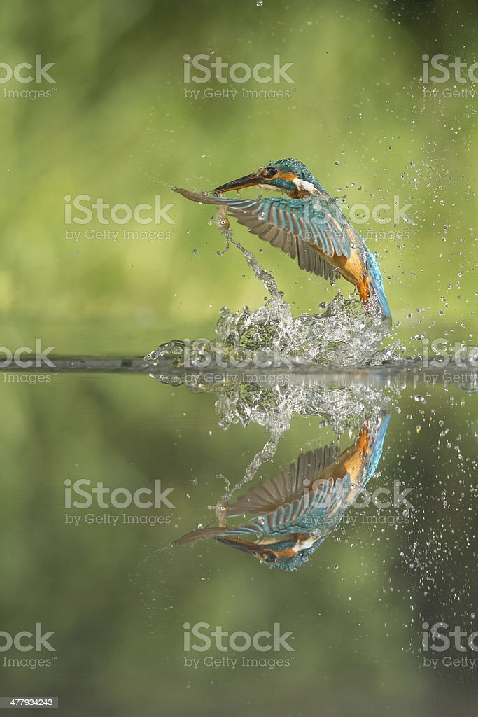 Kingfisher with Prey stock photo