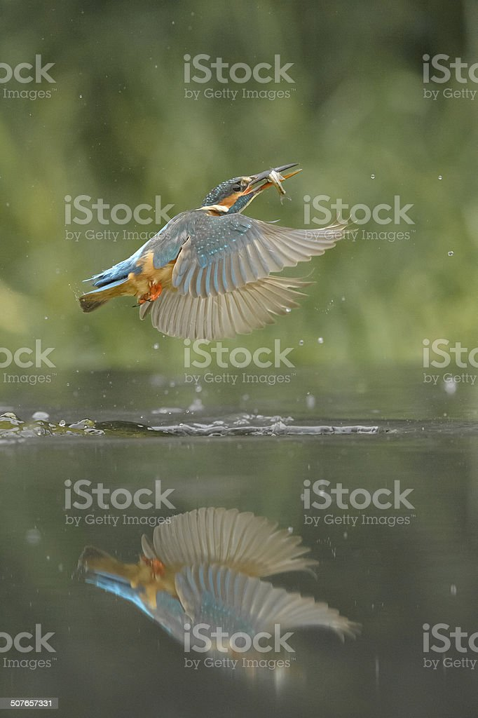 Kingfisher with Prey stock photo