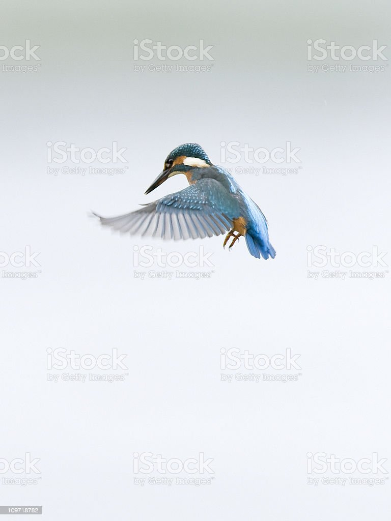 Kingfisher with Wings Spread in Flight stock photo