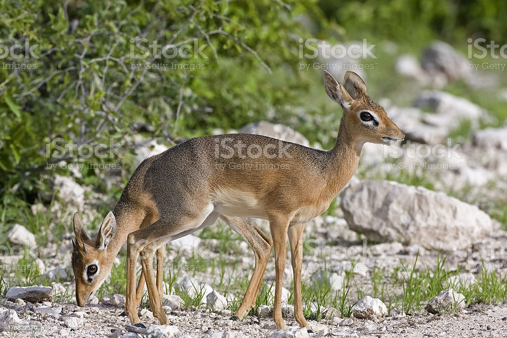 Kirk's Dik-Dik stock photo