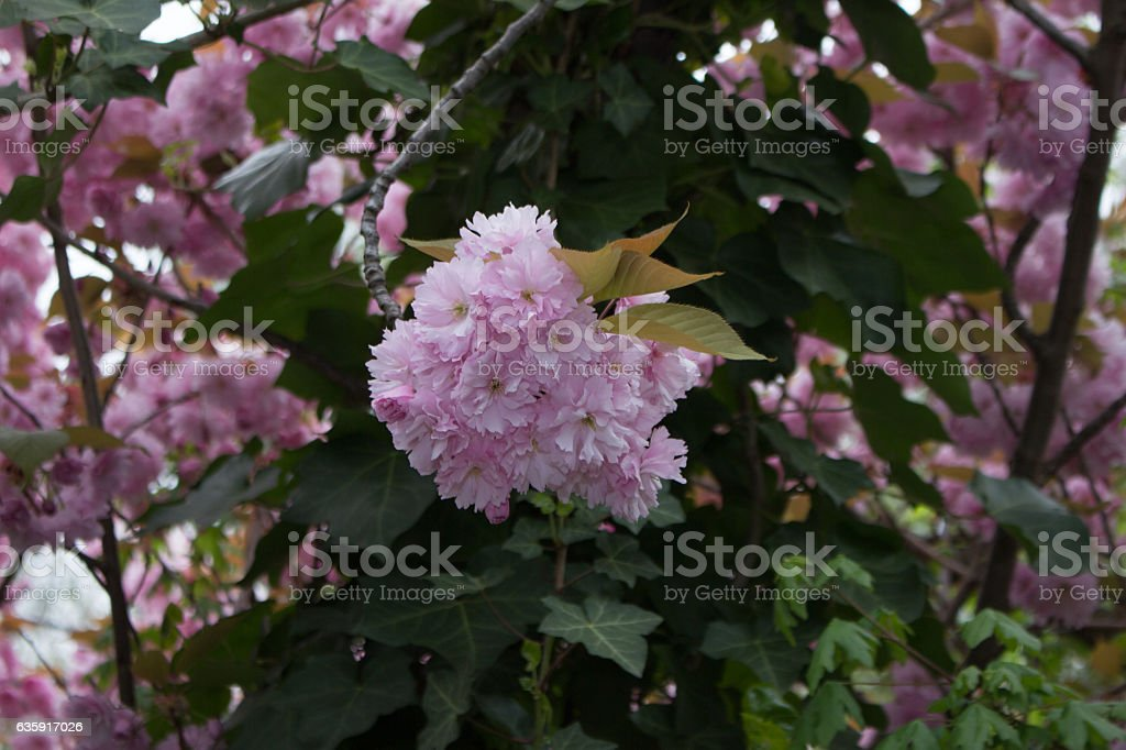 Kirschblüte stock photo