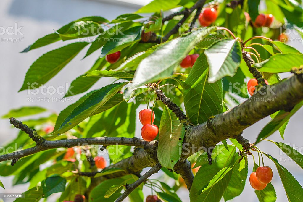 Kirschen am Baum royalty-free stock photo