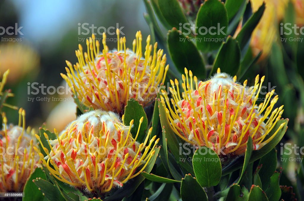 Kirstenbosch botanical garden,Cape Town stock photo