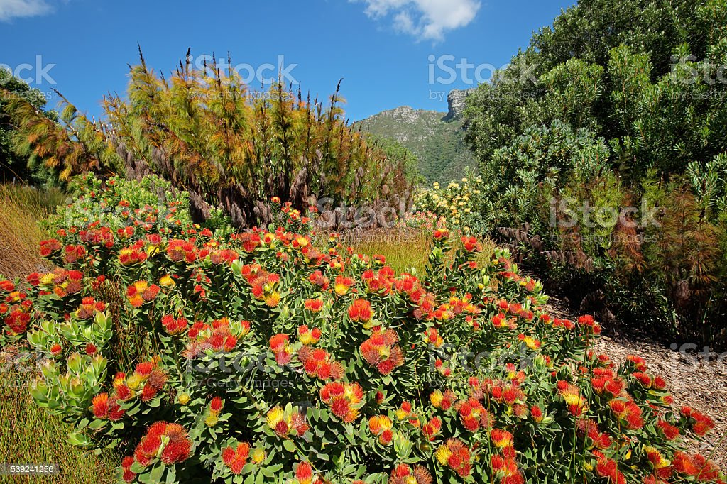 Kirstenbosch botanical gardens stock photo