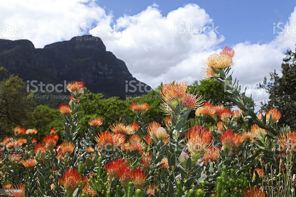 Kirstenbosch Botanical Gardens Protea Flowers stock photo