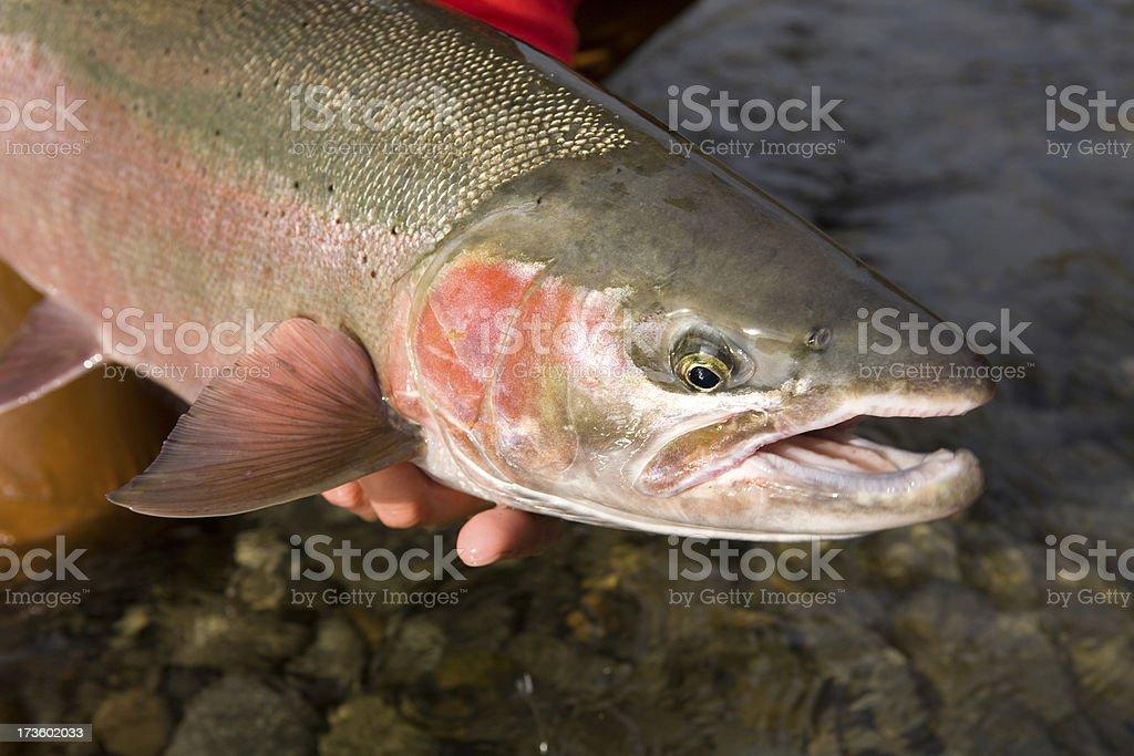Kispiox River Steelhead royalty-free stock photo