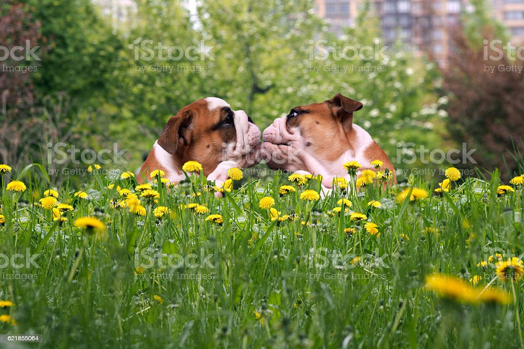 Kiss Bulldogs in the high green grass among dandelions stock photo