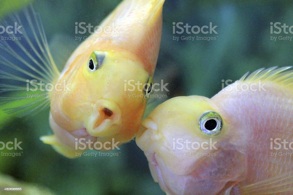 Kiss Fish stock photo