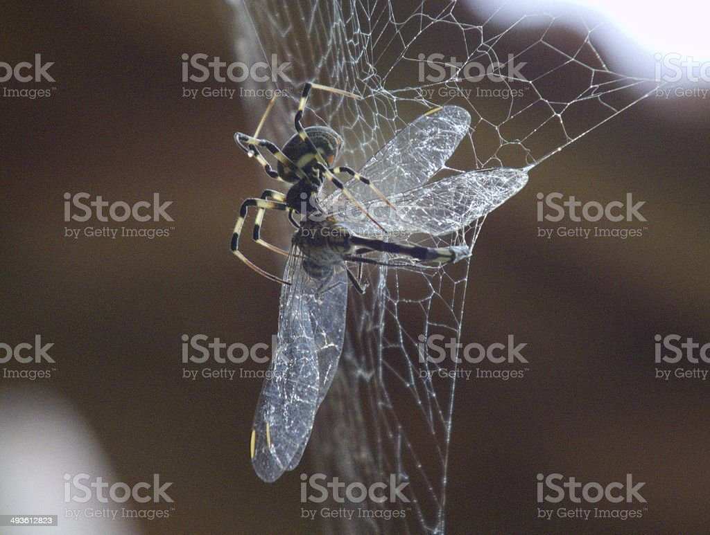 Kiss of Death: Spider Killing Dragonfly Caught in Web stock photo