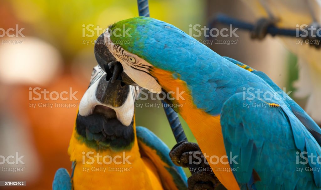 Kiss Scenes of The blue and yellow macaw, is a large South American parrot with blue top parts and yellow under parts. stock photo