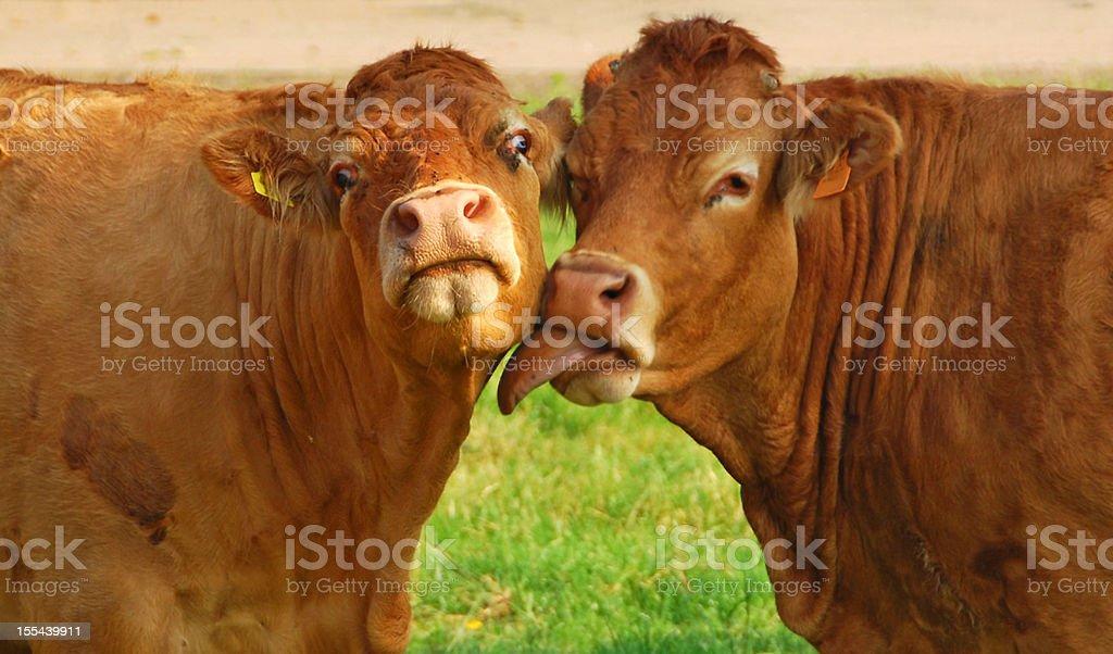Kissing Charolais cow`s stock photo