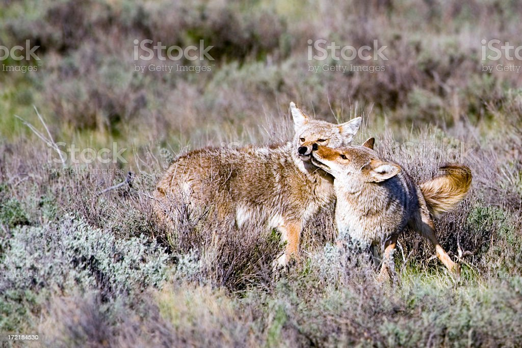 Kissing Coyote. royalty-free stock photo
