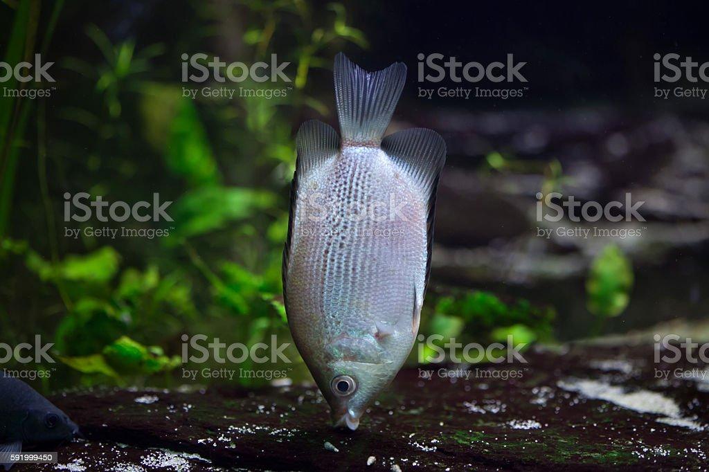 Kissing gourami (Helostoma temminckii) stock photo