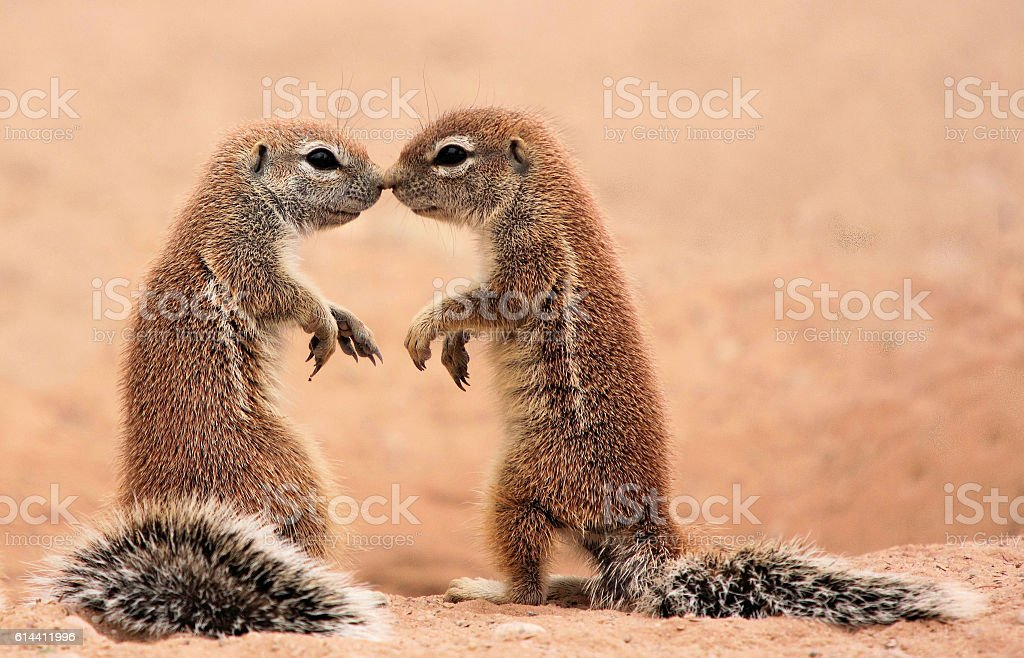 Kissing ground Squirrels stock photo