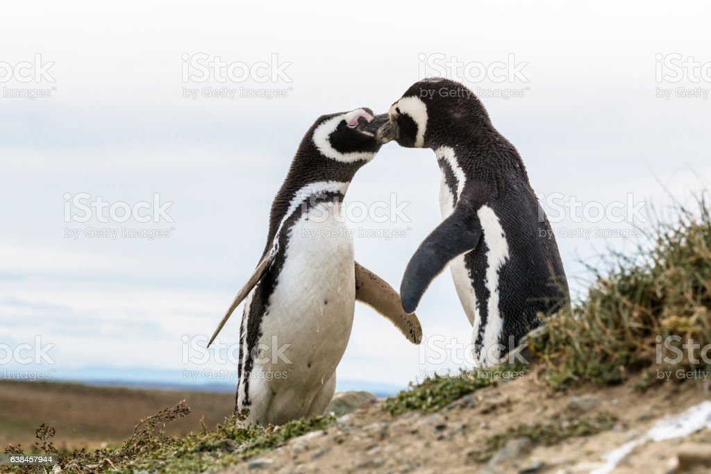 Kissing Magellanic penguins in Patagonia, Chile, South America stock photo