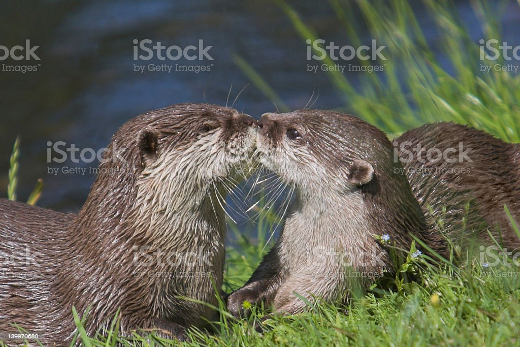 Kissing Otters stock photo