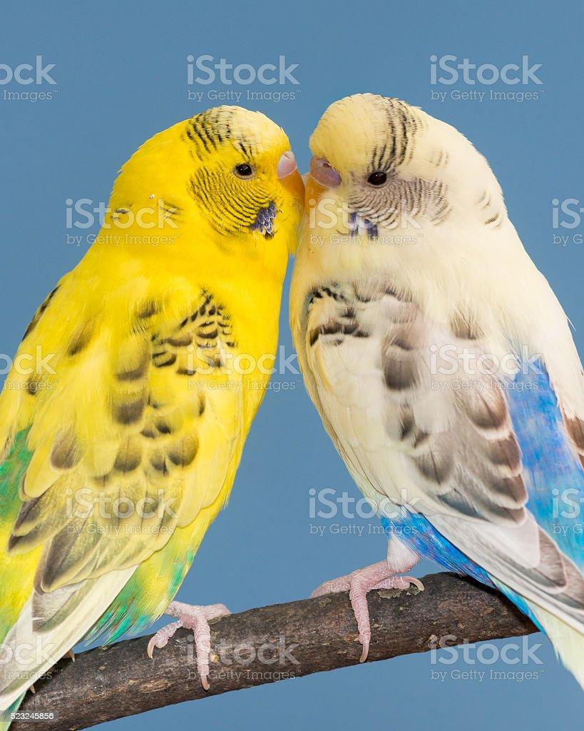 Kissing Parakeets stock photo