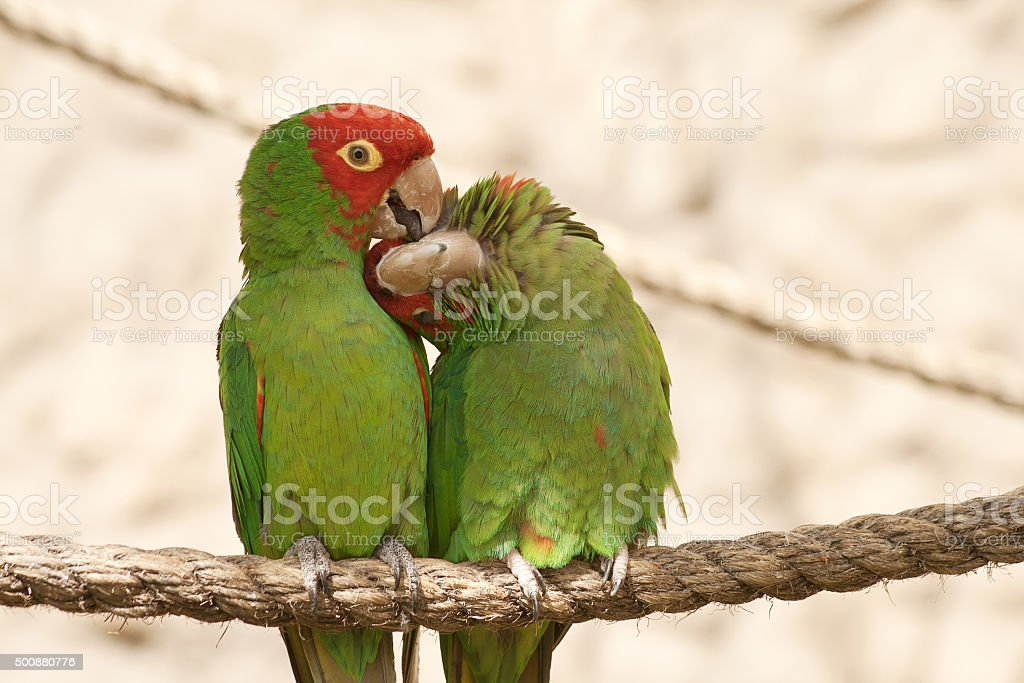 Kissing parrots on a rope stock photo