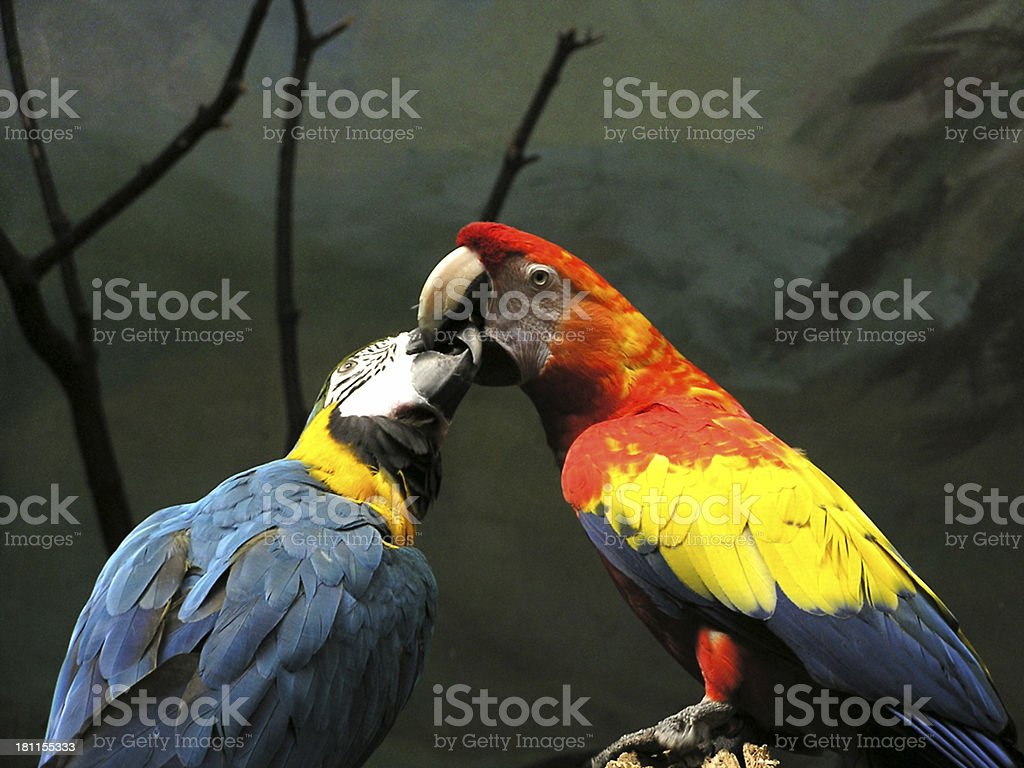 Kissing parrots royalty-free stock photo
