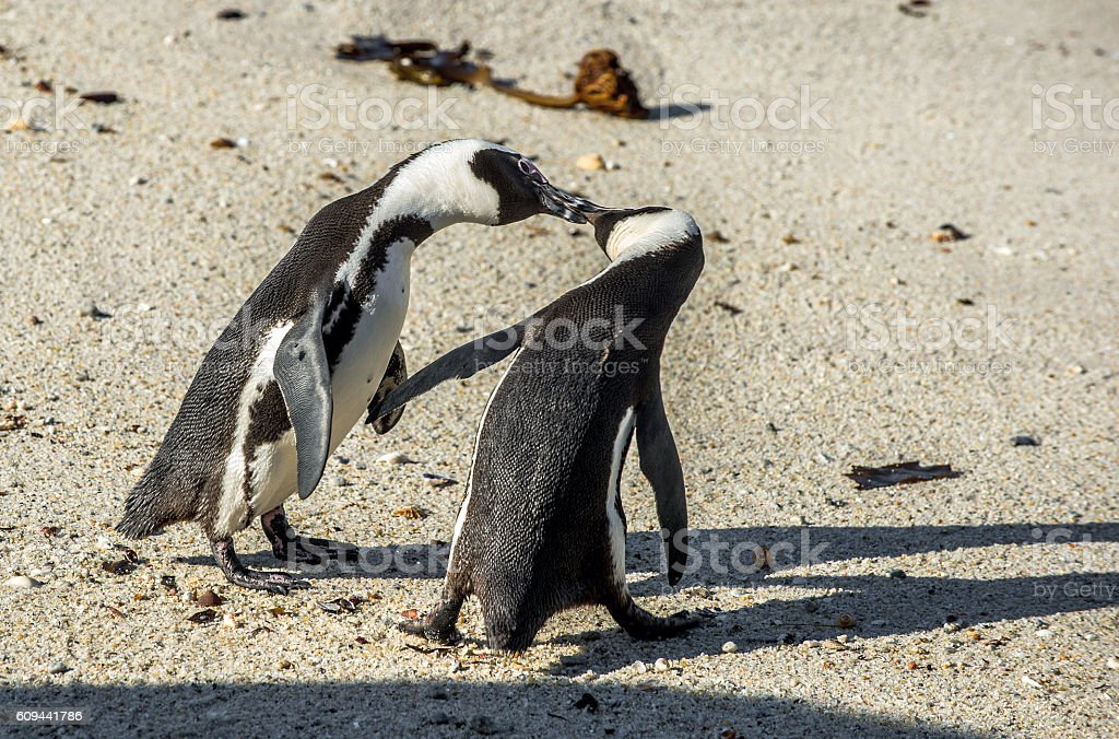 Kissing Penguins on the beach. stock photo