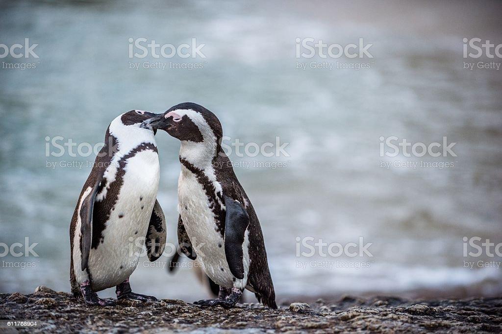 Kissing Penguins. stock photo