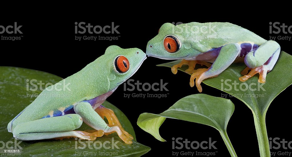 Kissing tree frogs stock photo
