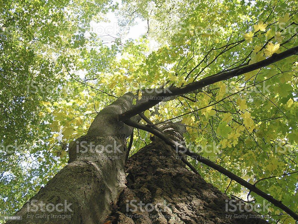 Kissing trees royalty-free stock photo