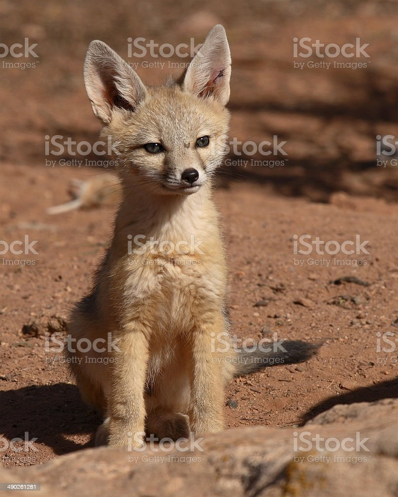 Kit Fox Puppy stock photo