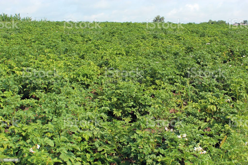 Kitchen garden of the big plants of potato stock photo