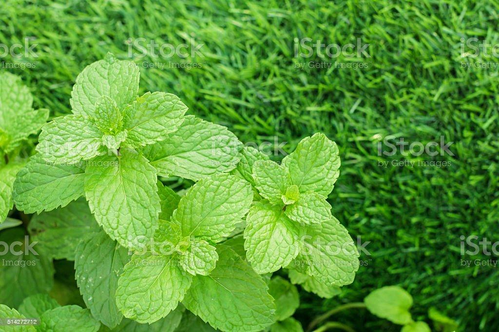 Kitchen Mint, Marsh Mint herbs in vegetable garden stock photo