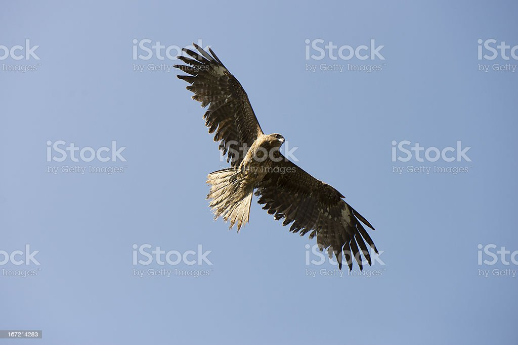 Kite circling in the sky royalty-free stock photo