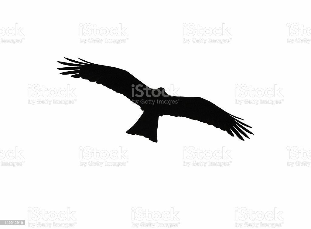 Kite (Bird of Prey) - Isolated stock photo